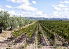 grape-vines-separated-road-olive-trees-tomaresca-tenuta-bocca-di-lupo-pictured-row-winery-101966722