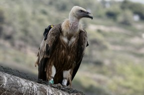 Griffon Vulture Wikipedia
